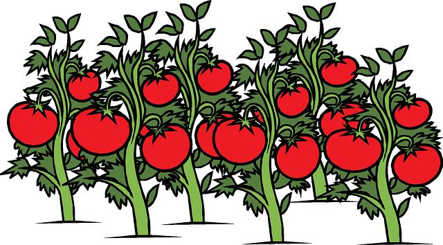 rostlinky rajčat