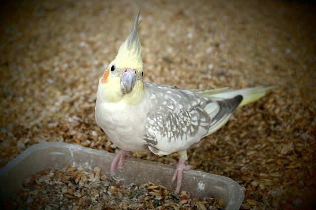 papoušek korela